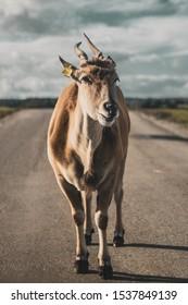 Wild male eland portrait safari