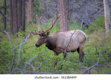 Wild male Elk in Grand Canyon National Park
