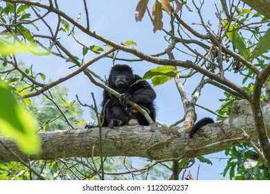 Wild male howler monkey sitting on branch of mango tree and looking directly at camera in rainforest of Chiapas, Mexico