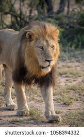 Wild Male Lion