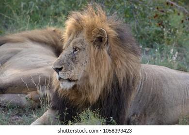 Wild Male Lion Close Up