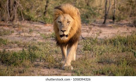 Wild Male Lion Walking