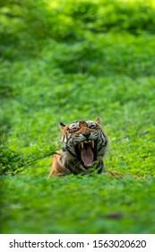 Wild male ranthambore tiger yawn expression in monsoon green background at ranthambore national park, india - panthera tigris tigris