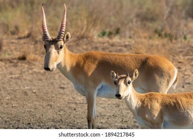 Antenne Saiga mâle sauvage ou Saiga tatarica en steppe. Réserve naturelle fédérale Mekletinskii, Kalmykia, Russie.