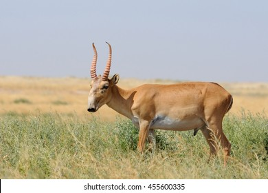 Wild male Saiga antelope (Saiga tatarica) in morning steppe. Federal nature reserve Mekletinskii, Kalmykia, Russia, August, 2015