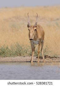 Wild male Saiga antelope (Saiga tatarica) at the watering place in the steppe. Federal nature reserve Mekletinskii, Kalmykia, Russia, August, 2015