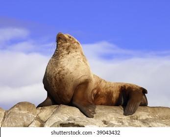Wild Male Steller Sea Lion
