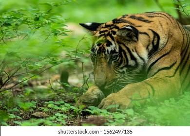 Wild male tiger head shot in monsoon green at ranthambore national park, india - panthera tigris tigris