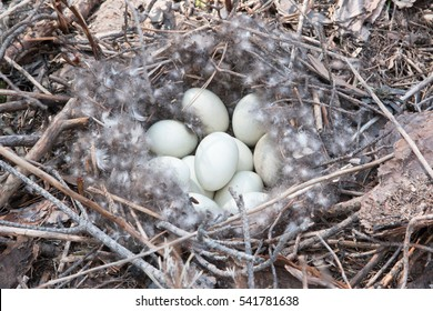 Wild mallard duck nest with light blue eggs laid out with down feathers, found away from water in Scots Pine forest, with pine branches and needles around