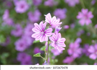 Wild mallow - Althaea officinalis, Malva sylvestris, Mallow plant with lilac pink flowers