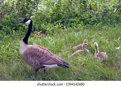 A wild mama goose watches over her three fuzzy baby goslings in tall grass on a cloudy spring day