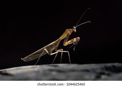 Wild mantis of the rainforest jungle