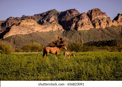 Wild mare and her newborn colt in green spring grass in front of usury mountains.  These horses are part of a wild herd band located just outside Phoenix Arizona in the salt river valley
