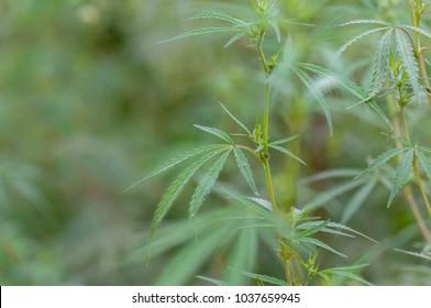 Wild marijuana Plant Close Up against green grass background