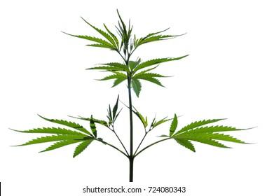 Wild marijuana plant isolated on the white background.