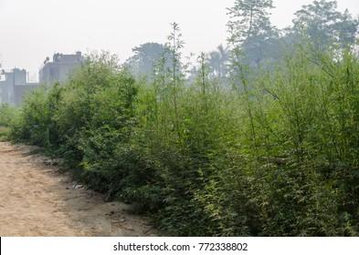 Wild marijuana plants growing on a village street in Nepal