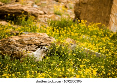 Wild Marmot in Montana Meadow