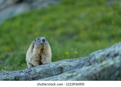 wild marmot in the mountains, cute alpine marmot in wilderness