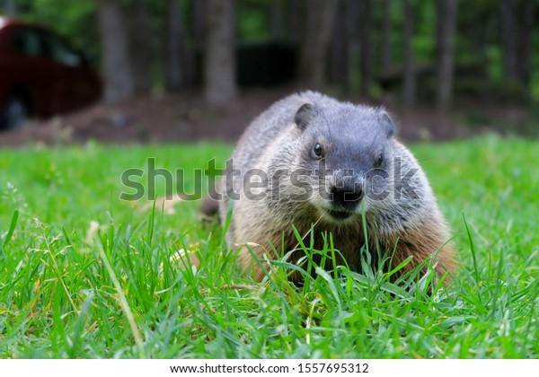 wild-marmot-natural-environment-600w-155