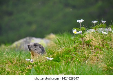 Wild marmot in its natural environment of mountains in summer sunny weather. The alpine marmot (Marmota marmota) is a large ground-dwelling squirrel, from the family of marmots.