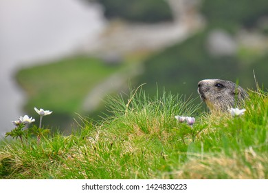 Wild marmot in its natural environment of mountains with mountain lake in background. The alpine marmot (Marmota marmota) is a large ground-dwelling squirrel, from the family of marmots.