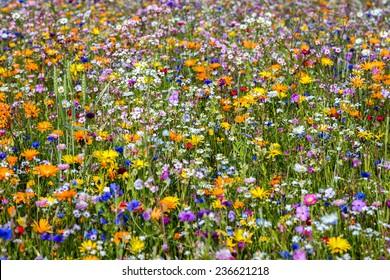 Wild Meadow