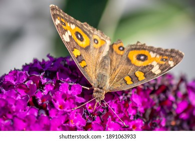 Wild Meadow Argus Butterfly Feeding on Dark Purple Buddleja Flowers, Romsey, Victoria, Australia, January 2021