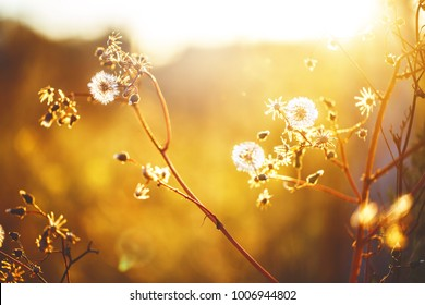 wild meadow dandelion beautiful flowers in spring fied. Nature ourdoor vintage sunny photo with sun and warm colours in evening sunlight in snset