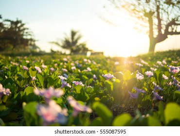 wild meadow flowers on morning sunlight background, Nature background concept, Sunrise in the morning, sunrise with Ipomoea pes caprae.