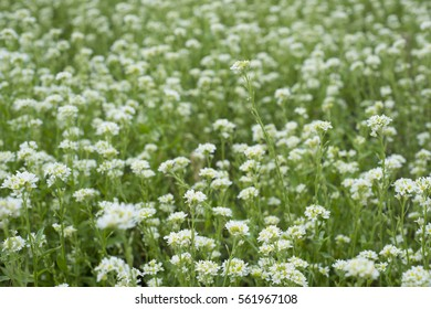 The wild meadow of wild flowers which makes a delicious honey. Nature, background.