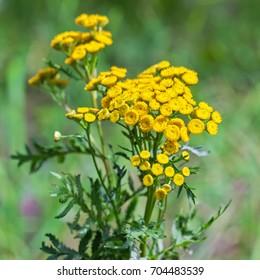 Wild medicinal plant tansy (lat. Tanacetum vulgare). Flowering plant