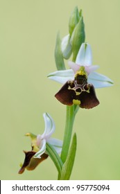 wild mediterranean orchid: Ophrys fuciflora (Late Spider-orchid)