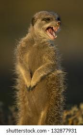 Wild meerkat (aka suricate), South Africa