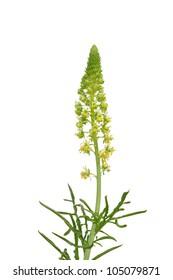 Wild mignonette (Reseda lutea)