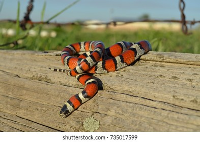 Wild milk snake
