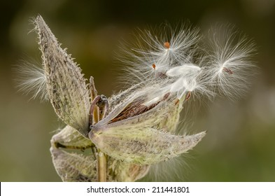 Wild milkweed plant in Fall spreading seeds by wind