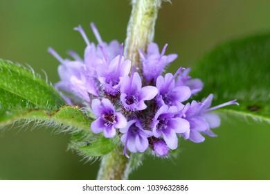 Wild mint, Mentha arvensis