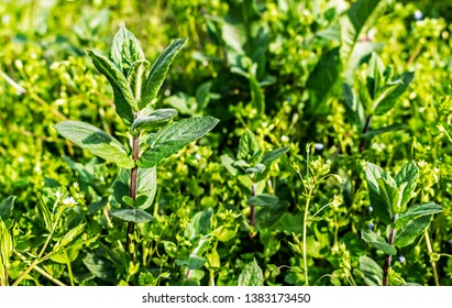 wild mint plant grows in the spring uncultivated countryside field