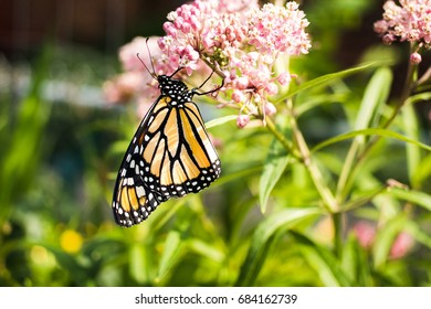 Wild Monarch Butterfly on Plant in natural environment