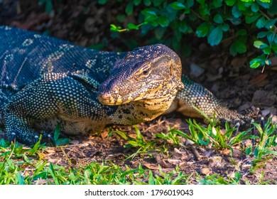 Wild monitor lizard in Lumphini Park, Bangkok, Thailand