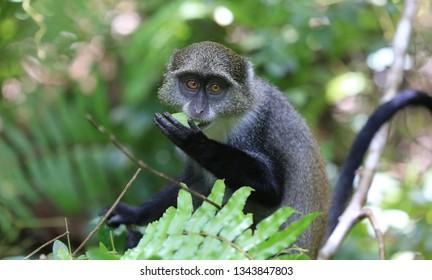 wild monkey eat green leaf in forest, zanzibar