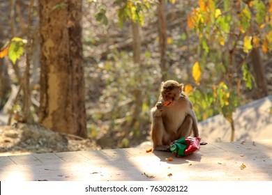 Wild monkey eating cheetos