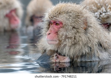 A wild monkey entering an outdoor bath. It is called a snow monkey.