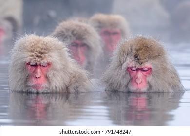 A wild monkey entering an outdoor bath to enter an outdoor bath. It is called a snow monkey.