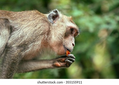 Wild monkey in the forest eating dates fruit