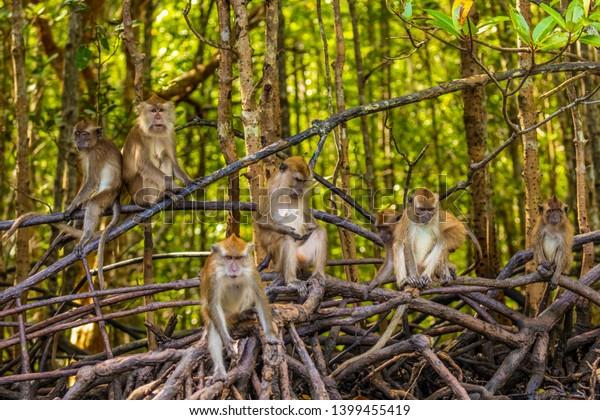 wild monkey at the mangrove of Langkawi, Malaysia