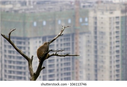 A wild monkey on a tree watching the smoggy city of Guiyang approach his habitat