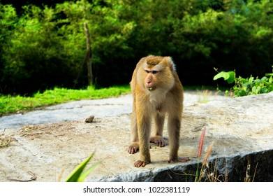 A wild monkey in Phuket