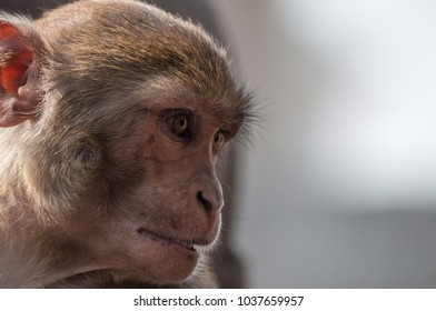 Wild monkey portrait closeup in Swayambhunath  (Monkey Temple) in Kathmandu Nepal