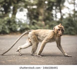 Wild Monkey in a road